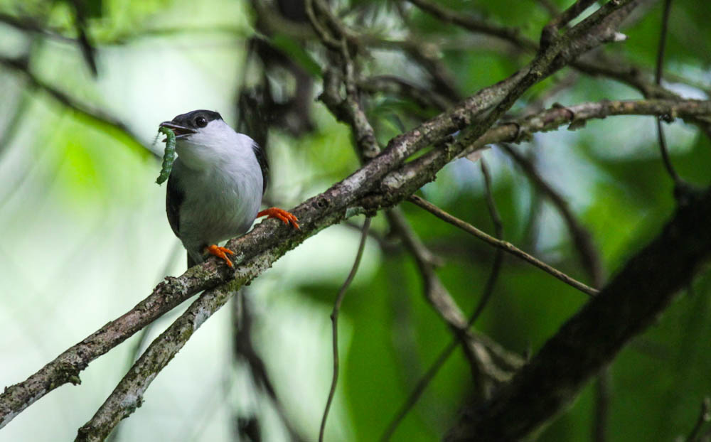 white bearded manakin with worm