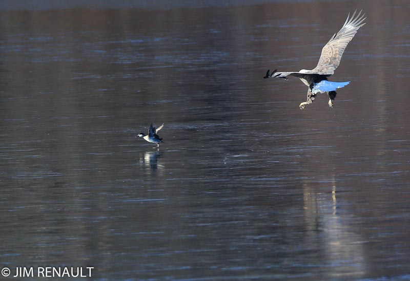 from JIM RENAULT Bald Eagle approaching Duck fx