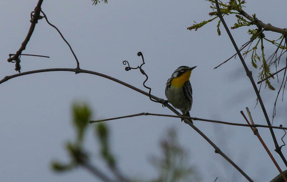 from KIM MAGEE MARSH yellow throated