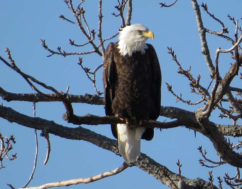 from MARK RESENDES BALD EAGLE fx  IMG_4087
