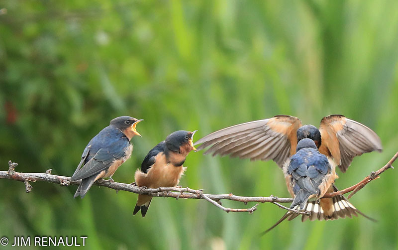 from JIM Barn Swallow Fledglings fx Belle Isle Feeding Time