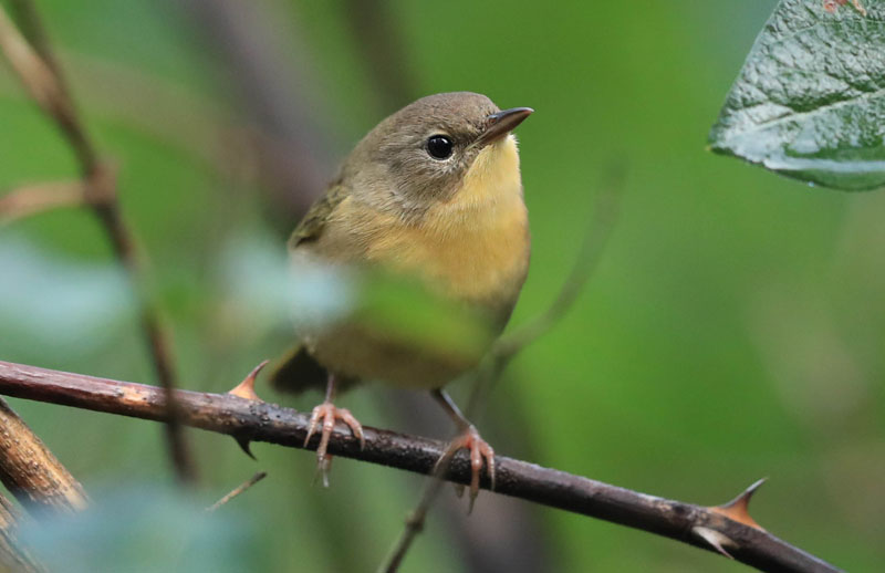 from JIM fx COMMON YELLOWTHROAT DUNBACK DH0I9928